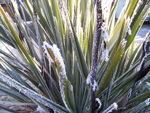 New Zealand Flax plant covered in hoarfrost