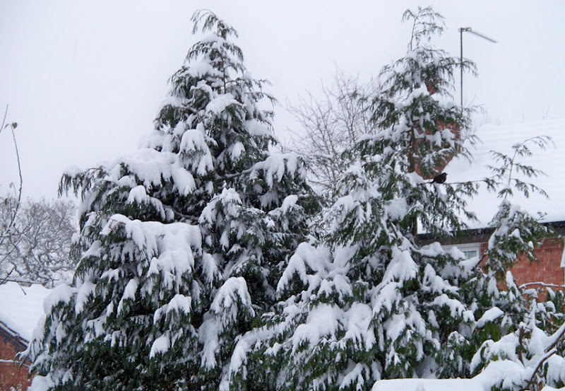 Fir trees covered in snow with one solitary blackbird