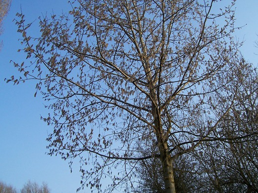 Downy Birch (young tree)