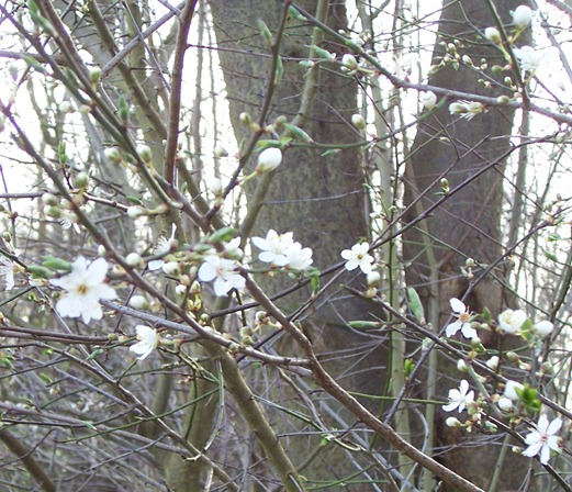Blackthorn - close up of blossom