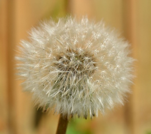 Dandelion clock - seed head