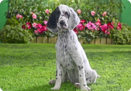English setter puppy on grass background