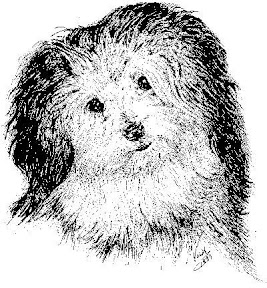 Early image of a Havanese