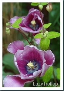 Purple tulips 012