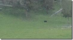 Black Bear IMG_0356