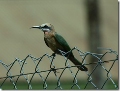 White-Fronted Be-Eater