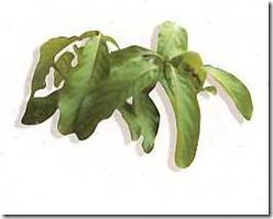 Adem Ati (Litsea glutinosa (Lour.) C.D. Robins.)