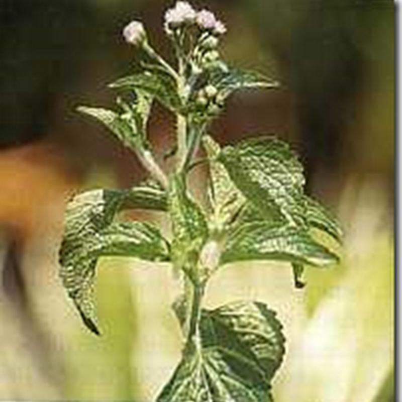 Bandotan (Ageratum conyzoides L.)