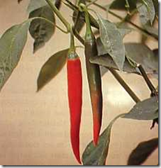 Cabai Merah (Capsicum Annuum L.)