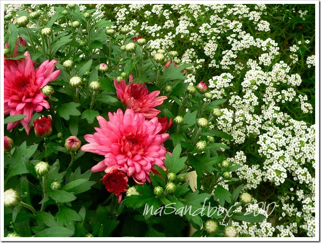 pink mums 9-9 with allisum and logo