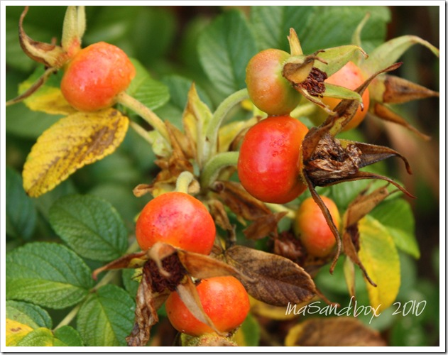Rose hips with logo