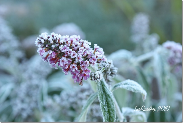 Frosty Buddlea Miss Ruby with logo