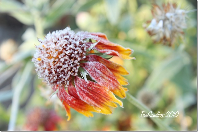Frosty Gaillardia with logo