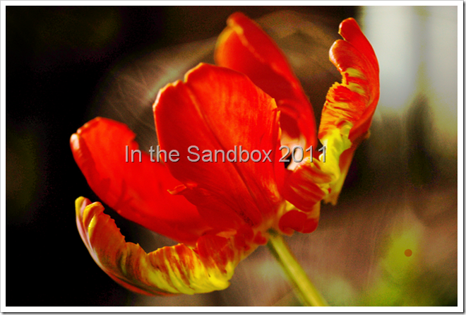 texturized-orange-tulip-for