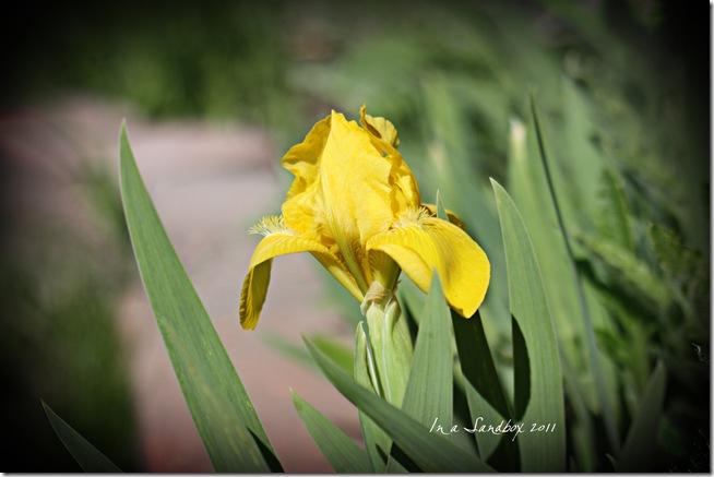 lemon dwarf iris