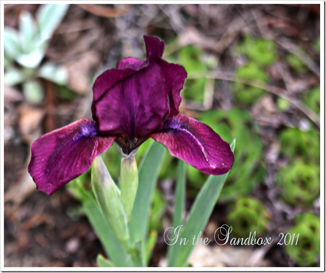 dwarf purple iris with logo
