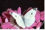 roze-bloemen-en-witte-vlinder-foto-'s-nb20134