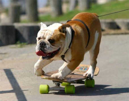 cachorro andando de skate