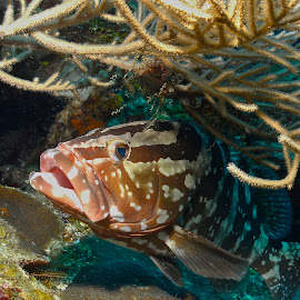 Grouper by David Gilchrist - Animals Fish ( roatan marine park, underwater, fish, nassau grouper, (epinephelus striatus) )