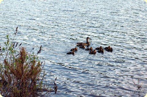 Mamma Duck and Ducklings