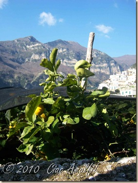 Ciao Amalfi Coast Blog sleeping lemons1