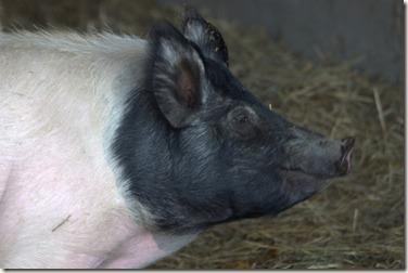 This Piggy