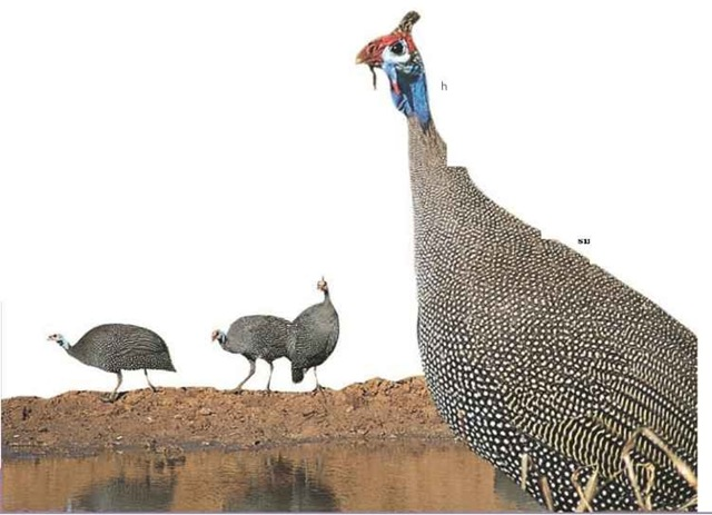 Last but not least All guineafowl benefit equally from the flock's single-file march to find food.