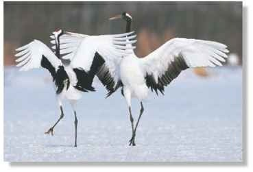 A Tender two-step Cranes form and strengthen lifelong pair bond with dances.