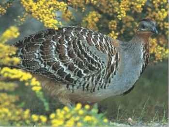 Malleefowl Birds
