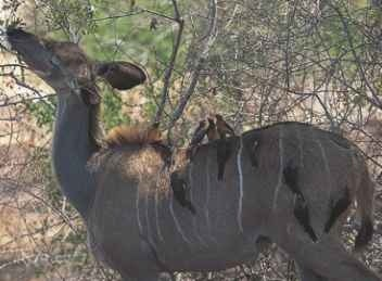 Backpacking Oxpeckers groom browsers such as kudu.