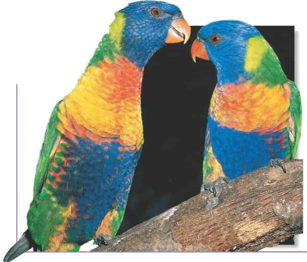 Happy couple Monogomous lorikeet breeding pairs stay together for life.