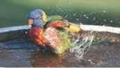 A Splish splash A lorikeet bathes itself during an afternoon break.
