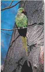 A Sitting pretty A long tail and opposing toes help the parakeet perch on thin branches.
