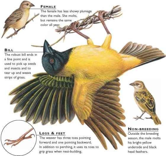 Village Weaver Spottedbacked Ploceus Cucullatus Courtship