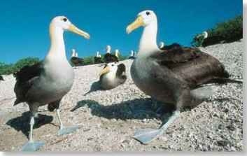 A Same place, new year About 12,000 pairs of waved albatrosses return to the same breeding ground each year.
