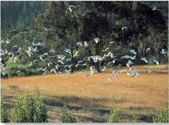 A Local color Flocks of sulphur-crested cockatoos rarely move far from their home patch and tend to stay in one locality year-round.