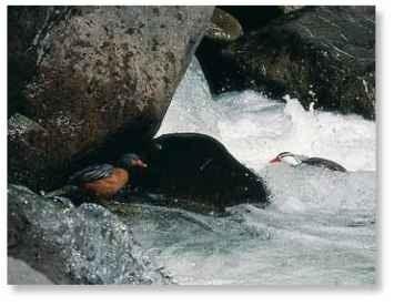 Fast food These ducks scour rocks that hide aquatic larvae.