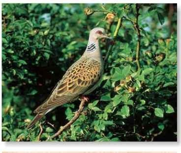 Regular roost The turtle dove roosts and nests in woodland trees.