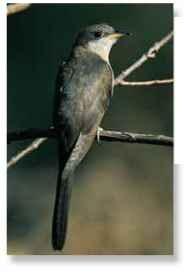 A Parental perch An adult yellow-billed cuckoo surveys the area.