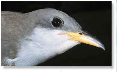 Brown surround The yellow-billed cuckoo's large, brown eyes can focus both in front and behind.