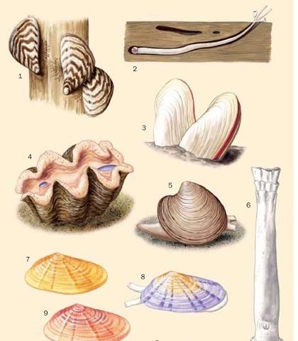 1. Zebra mussel (Dreissena polymorpha); 2. Shipworm (Teredo navalis); 3. Giant vent clam (Calyptogena magnifica); 4. Giant clam (Tridacna gi-gas); 5. Northern quahog (Mercenaria mercenaria); 6. Watering pot shell (Brechites vaginiferus); 7. Coquina clam (Donax variabilis); 8. Coquina clam color morph 1; 9. Coquina clam color morph 2.