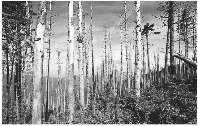 A stand of fir trees shows the devastating effects of acid rain, which is created when sulfuric acid mixes with moisture in the atmosphere.