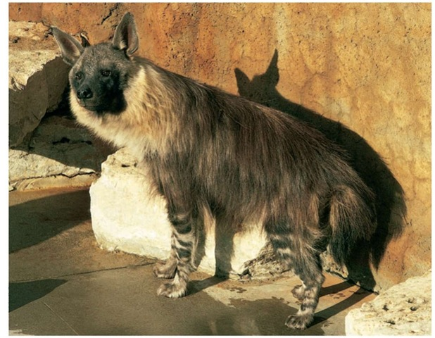Brown hyenas are often killed because of the false belief that they are a threat to livestock.