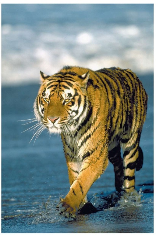 A Bengal tiger walking along a beach. Of the eight original subspecies of tiger only five remain. The Bengal tiger is one of these remaining subspecies.