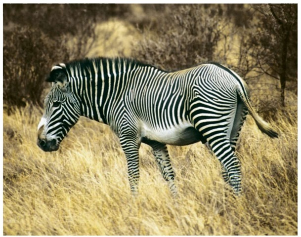 Some scientists now believe that Grevy's zebra's black-and-white stripes help it to distinguish other members of its group.