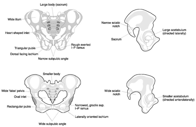 Sex differences in the pelvis (see Table 2). Male above, female below.