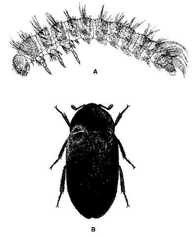 Dermestid beetles. (A) Larva; (B) adult.