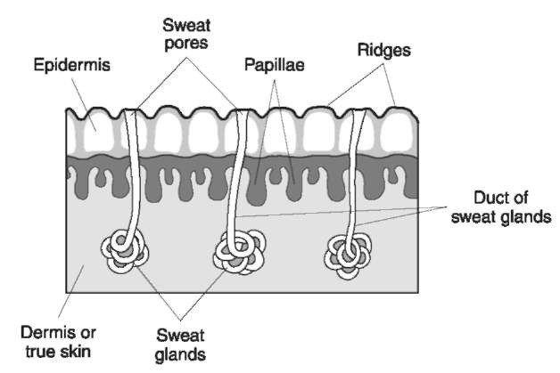 Cross section of friction skin.