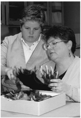 Bonnie Yates and Cookie Sims examine an evidence item against a bear paw morphological standard. Bear paws are found in trade for the use of the claws in jewelry and in certain Asian medicinal preparations.