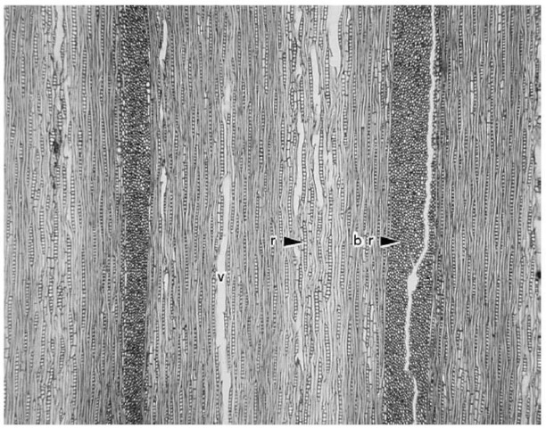 Tangential section of oak. br, multiseriate ray; r, uniseriate ray; v, the hole left by a vessel which was torn away in sectioning. Vessels are tubes, composed of cells connected end to end {vessel elements), which are aligned roughly parallel to the other fibrous elements in the wood. Compare with Fig. 5. Original magnification x 40.